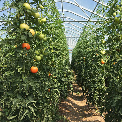 Fertility tips and foliar testing to maximize high tunnel crops