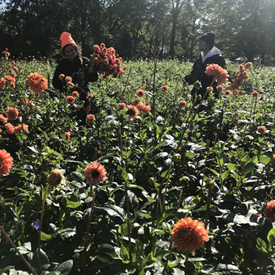 Dahlias from planting to digging