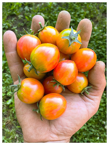 breeding-tomatoes-farm-practical-selection-advice