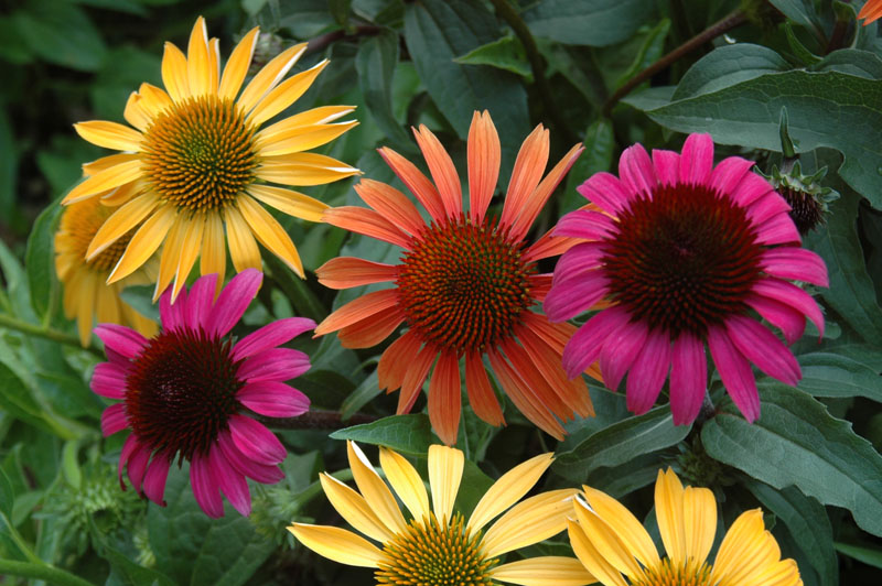 New Echinacea Varieties Ready For Cutting Growing For Market