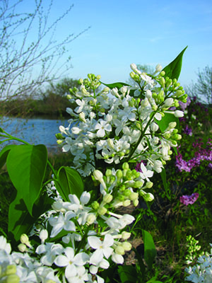 Its easy to fall in love with lilacs growing for market white lilac mightylinksfo