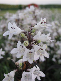 Too much of a good thing growing for market i love husker red penstemon as a cut flower as well as a landscaping plant the arching purple stems above purple foliage are laden with small white mightylinksfo