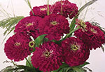Zinnia Benary Giant