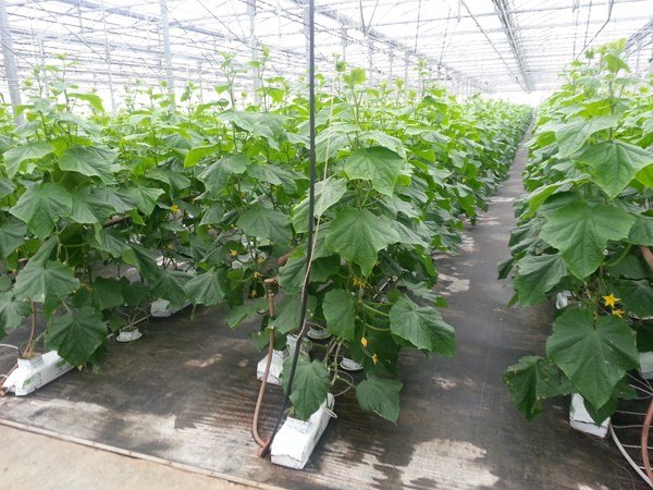 Consider growing cukes umbrella style