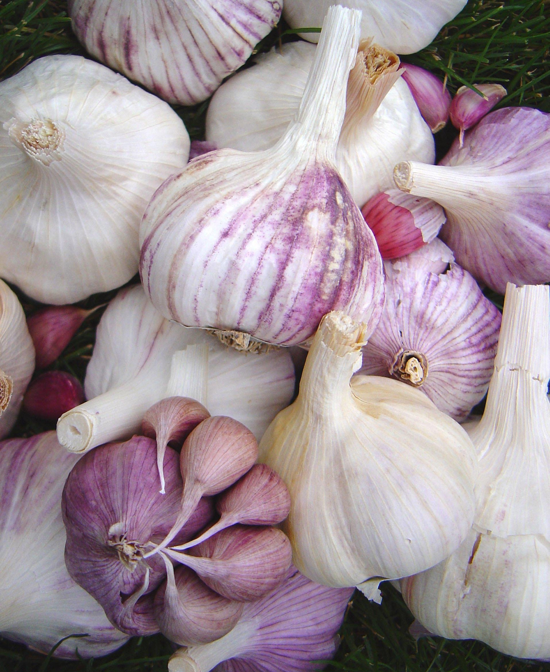garlic bulbs of many types